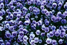 Pansies, and violas, are annual flowers related to violets and bloom during cool seasons of the year. In the Deep South, they are used for winter bedding.