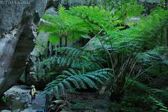 """King Fern (Angiopteris evecta), a """"living fossil"""" who's growth form has not changed for 300 million years..An 8 year old boy looks at the enormous King Fern.Ward's Canyon, a small side canyon off Carnarvon Gorge.  Moss and ferns flourish in this area with permanent water."""