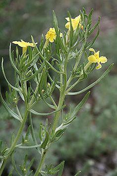 Lithospermum incisum - Narrowleaf (Fringed) puccoon - Borage Family (Boraginaceae) - Early and Summer, Colorado Wildflower