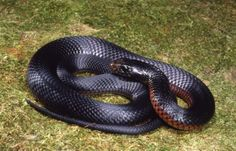 red bellied snake