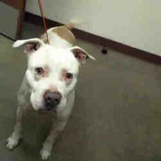 PHOENIX, AZ - CRUCIAL SITUATION! - OUT OF TIME! - #A4065827 - KONG is a MALE AMERICAN PIT BULL TERRIER for adoption who needs a FOSTER or LOVING HOME NOW! PLEASE HELP HIM!