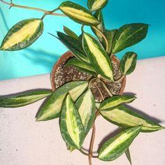 Hoya macrophylla 'Pot of Gold' Cutting [SRQ 3042] - $16.00 : Buy Hoya Plants Online in Many Species from SRQ Hoyas Today!