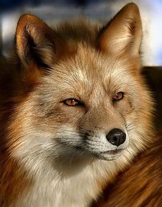wildlife - red fox in the sunlight Animals And Pets, Baby Animals, Funny Animals, Cute Animals, Wild Animals, Nature Animals, Beautiful Creatures, Animals Beautiful, Majestic Animals