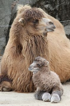 baby Bactrian camel and mom. The Bactrian camel (Camelus bactrianus) is a large… Cute Baby Animals, Animals And Pets, Funny Animals, Camelo Bactriano, Beautiful Creatures, Animals Beautiful, Bactrian Camel, Baby Camel, Photo Animaliere