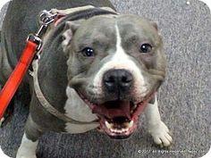 Fort Wayne, IN - Pit Bull Terrier. Meet Bella, a dog for adoption. http://www.adoptapet.com/pet/17641789-fort-wayne-indiana-pit-bull-terrier