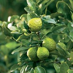 Kaffir lime trees are easy to grow in pots and the leaves are an essential Thai seasoning.