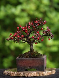 """Small Cotoneaster. Height 7"""". Pot by Walsall Studio Ceramics."""