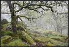 wistmans wood Dartmoor. The last of the ancient Dartmoor forest..