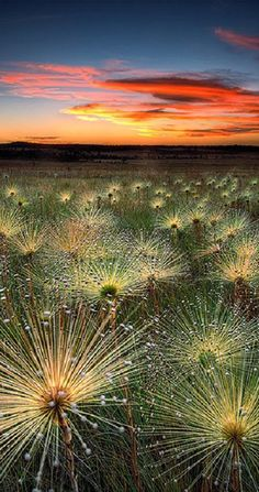 Paepalanthus at sunset in the Cerrado biome of Mato Grosso, Brazil • photo: Marcio Cabral on deviantart