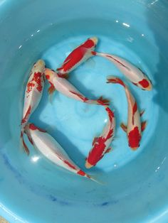 "goldfish Sarasa top quality selection ""kohaku grade"" 8 inch"