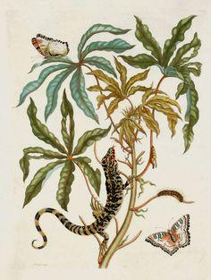 Maria Sibylla Merian - Jatropha Moth, Lizard & Manioc - 1719. From Metamorphasibus Insectorum Surinamensis