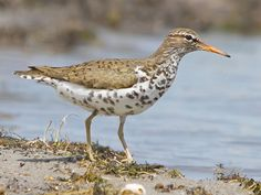 Spotted Sandpiper, Identification, All About Birds - Cornell Lab of Ornithology