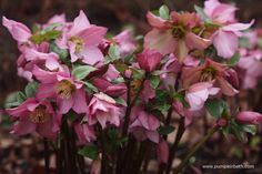 A pretty pink Hellebore.