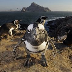 """""""Photo by @thomaspeschak Mercury Island is the jewel in Namibia's first Marine Protected Area proclaimed in 2009. This remote island is home to an…"""""""