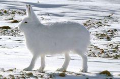 Photo: Arctic Hare, Lepus arcticus.