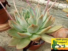"""Echeveria mexico giant - to 18"""", full sun, fast grower in heat, can develop white/blue bloom, could be a pure species"""