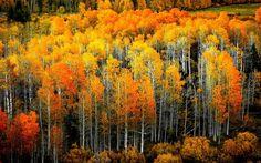 Splendid autumn birch forest