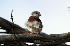 Bird Photography / Pygmy Falcon / Zebra River Lodge, Southern Namibia