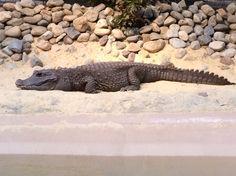 African dwarf crocodile (Osteolaemus tetraspis)