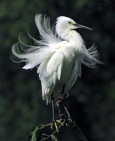 #655 Marilyn Monroe - Little Egret (Egretta garzetta) taken at Pinglin, Taipei County, TAIWANby John, via Flickr