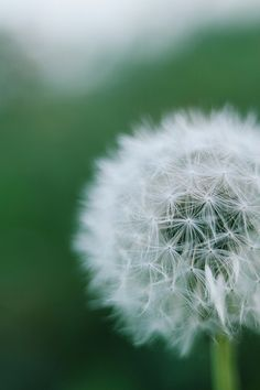 The subsequent sowing the dandelion