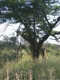 Sighting by Africa: Live App User