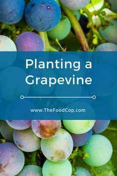 grapevine | planting a grapevine | how to grow grapes | The Food Cop via @thefoodcop