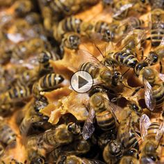 You've always wondered what the inside of a working bee hive looks like. Check out the GRIT Live Bee Cam and you'll get to see some bees in action! - GRIT Magazine