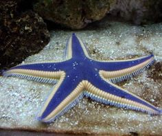 Saltwater aquarium star fish page: Linckia Sea Stars, Fromia, Basket, Feather, Serpants, Brittle
