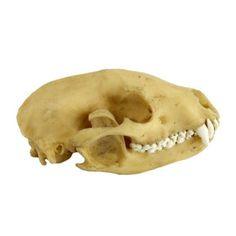 Raccoon Skull - Resin