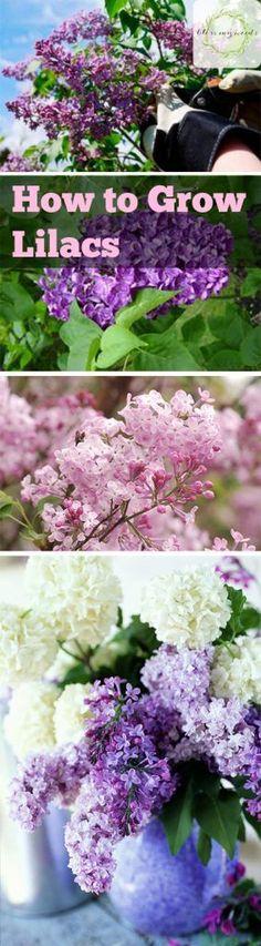 How to Grow Lilacs - Gardening, Growing Lilacs, How to Grow Lilacs Easily, Lilac Growing Tips & Tricks...
