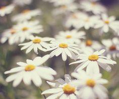 daisy - my favorite flower