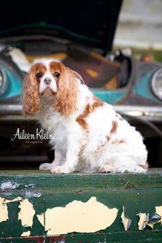 Cavalier king charles spaniël, Phoebe 11 jaar oud