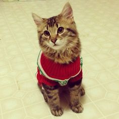 cat in christmas sweater