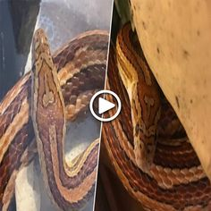 South Carolina Mum Names Pet Snake D*ckhead For Unique Skin Mark Rat Snake, Corn Snake, Restaurant Signs, Chinese Restaurant, Pet Rats, Pets, Milk Snake, Salt Water Fish, Dangerous Animals