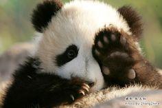 National Day crowds pack breeding center for view of pandas Panda Bebe, Cute Panda, Fluffy Animals, Animals And Pets, Wild Animals, Photo Panda, Image Panda, Baby Panda Bears, Baby Pandas