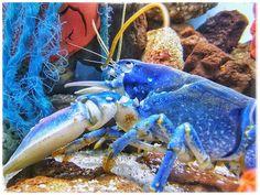 I'm Blue#goodmorning #goedemorgen #gutenmorgen #bonjour #bongiorno #buenosdias #lobster #kreeft #seaanimals #animal #animals #portrait #portraits #portret #lovephotography #photography #photographer #fotograaf #fotografie #aquarium