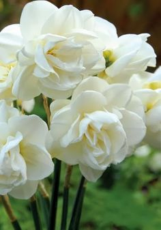 Double daffodils!