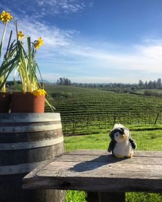 Returning the favor & showing #HowardTheGentoo MY home with Friday #winetour in #Sonoma starting @ironhorsevyds