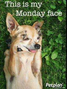 This is my Monday face! Monday Face, Monday Monday, Monday Humor, Mondays, Happy Monday, Weekday Quotes, Pet Memes, Bow Wow, Sweet Words