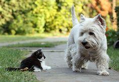 Kitten meets West Highland White Terrier. Image by János Tamás.