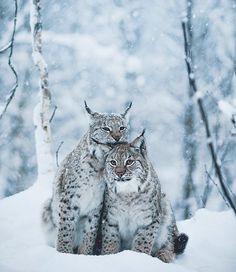 """142.6k Likes, 854 Comments - 🌎 Earthpix 🌎 (@earthpix) on Instagram: """"Lynx love 💕 Photo by @cosmokoala"""""""