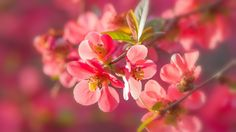 Pink quince flowers macro photography wallpaper 1920x1080 Full HD