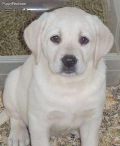 Labrador Retriever Pictures (5v73ruu3o6z) #labradorretriever