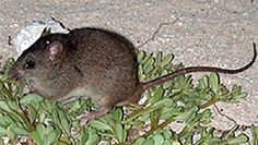 Rodent's extinction highlights need for action on climate change