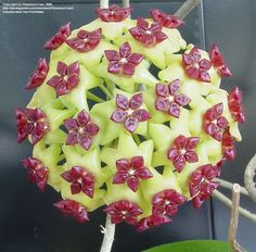 Full size picture of Hoya, Wax Plant, Porcelain Flower (Hoya cinnamomifolia)