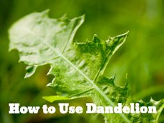 Dandelion is Not a Lawn Menace - How to Use Dandelion  |  SmallFootprintFamily.com