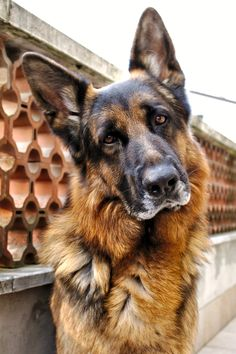 Beautiful German shepherd (by melissalorenzini)