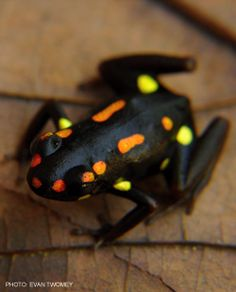 Dendrobates captivus Find the largest selection of organic gluten free dog treats in the world. Www.boneyardbakery.net
