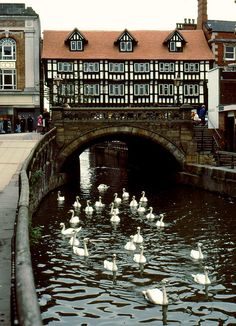 abitofbritain:High Bridge in Lincoln enchantedengland: What is that one in the back doing? It looks like he is cleaning himself. Perhaps he thinks he is a cat. Maybe he is sick!! GO BACK OTHER DUCKS GO BACK AND HELP HIM okay I have been informed they are swans not ducks does that matter when the duck/swan is dying back there??? I am not awake yet anyway. Not that I would know the difference even then, but I do like a lame excuse.